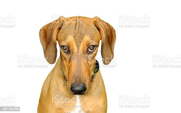 Dog looking isolated on white picture id587795268?b=1&k=6&m=587795268&s=612x612&h=m duzydf3iklyiwne1phr3skimljbbeqxb332m9ieny=