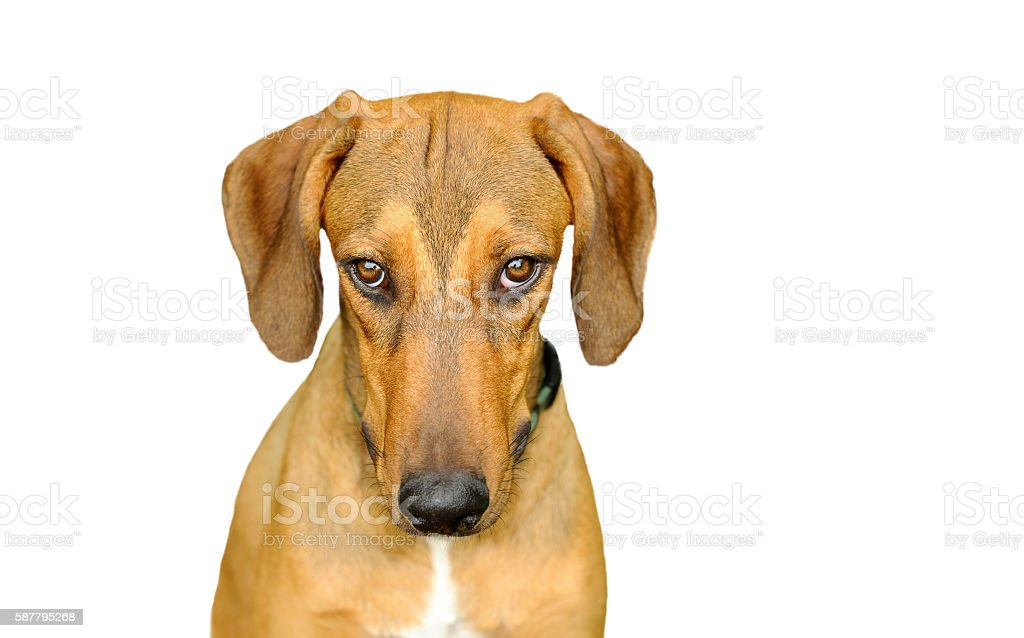 Dog Looking Isolated on White stock photo