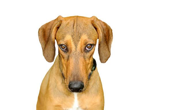 dog looking isolated on white - hundeaugen stock-fotos und bilder