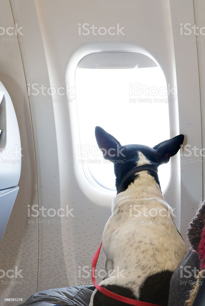 dog looking out airplane window stock photo