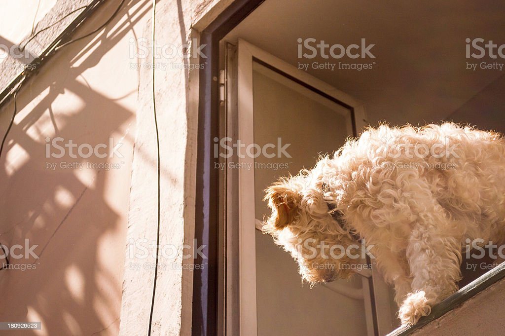Dog Looking Out of a Window royalty-free stock photo