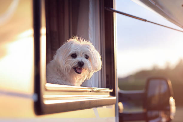 Dog looking out of camper van window stock photo