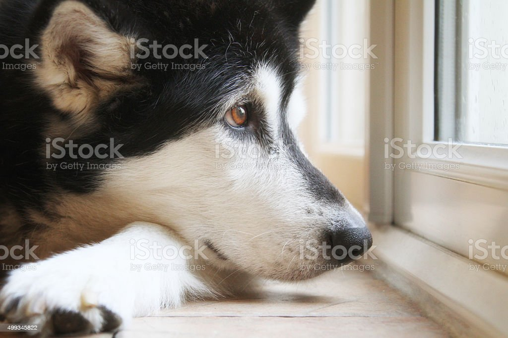 dog looking out of window. stock photo