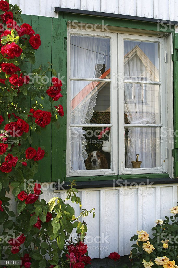 Dog Looking Out royalty-free stock photo