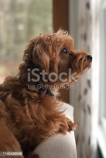 Cute Yorkie poo dog  on the Back of the couch looking out the window