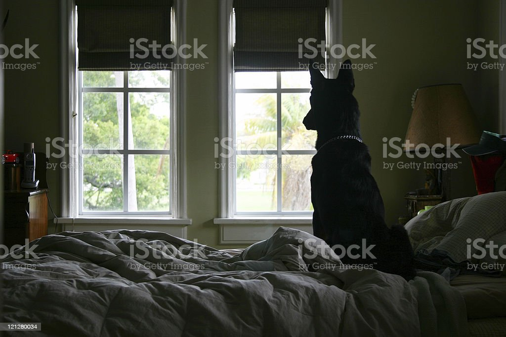 Dog Looking Out Window stock photo