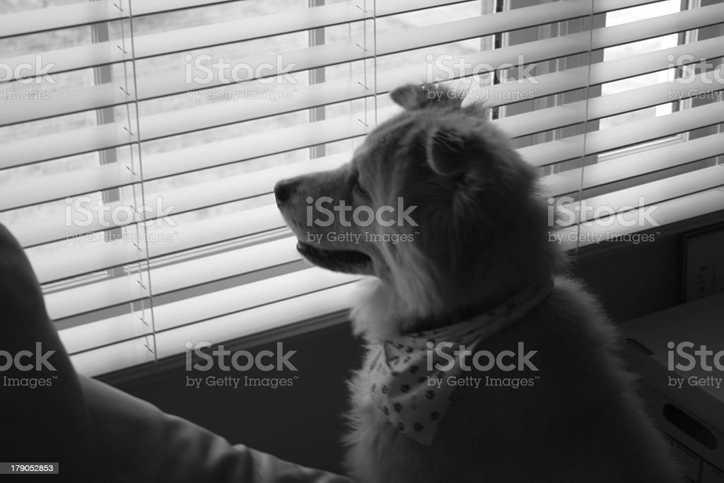 Dog Looking Out Window royalty-free stock photo