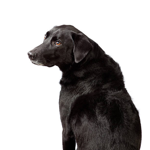 Dog looking over shoulder Black labrador mixed dog sitting and looking over shoulder at viewer. deferential stock pictures, royalty-free photos & images