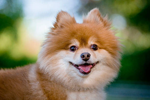 hund suchen - zwergspitz stock-fotos und bilder