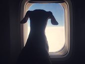 Cute dachshund dog looking through an airplane window while traveling