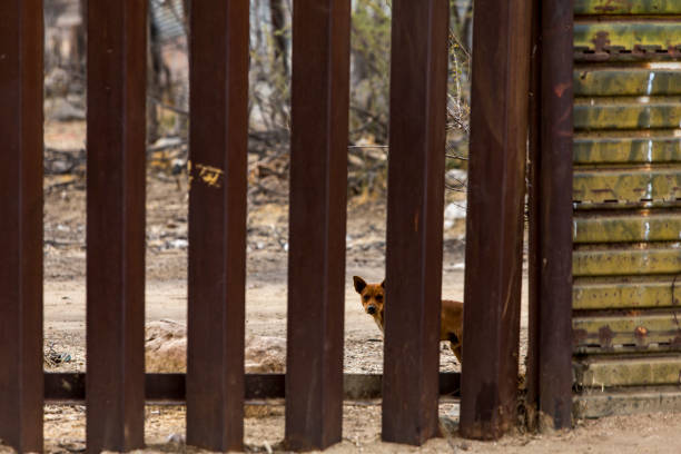 Dog Looking Through International Border Wall Separating the United States and Mexico stock photo