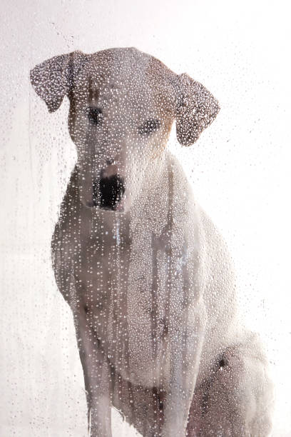Dog looking through the glass on a rainy day stock photo