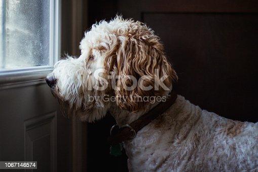 dog, golden doodle, animal, domestic animal