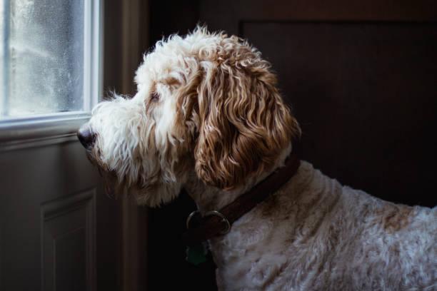 Dog looking throw a window stock photo