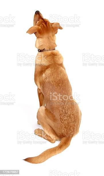 Dog looking up rear view picture id172675657?b=1&k=6&m=172675657&s=612x612&h=aonk1ysvebesizhjqndpmdw2wc6ddi fs0dqxhdkqqk=