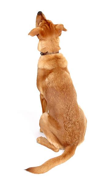 Dog looking up rear view picture id172675657?b=1&k=6&m=172675657&s=612x612&w=0&h=v sqvffpbp1kdy4ldq5vf6qfyz o3fnuilvmvzu10pi=