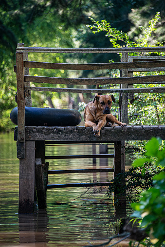 Dog looks at the camera from a dock.