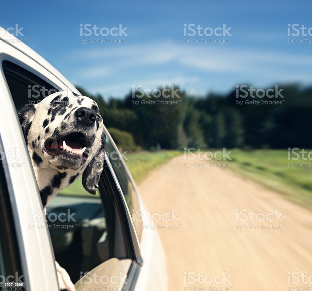dog looks out of car window stock photo