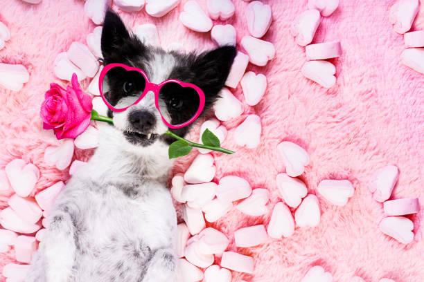 개 사랑 로즈 발렌타인 - 발렌타인 카드 뉴스 사진 이미지