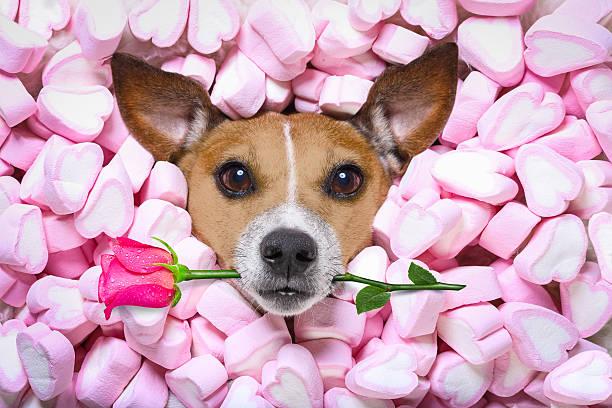 dog love rose valentines - besondere geschenke stock-fotos und bilder