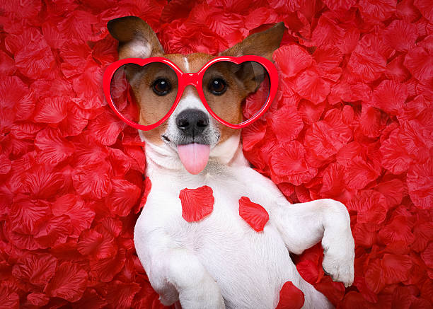 dog love rose valentines Jack russell  dog sticking out tongue ,while lying on bed full of rose petals as background  , in love on valentines day, wearing sunglasses animal valentine stock pictures, royalty-free photos & images