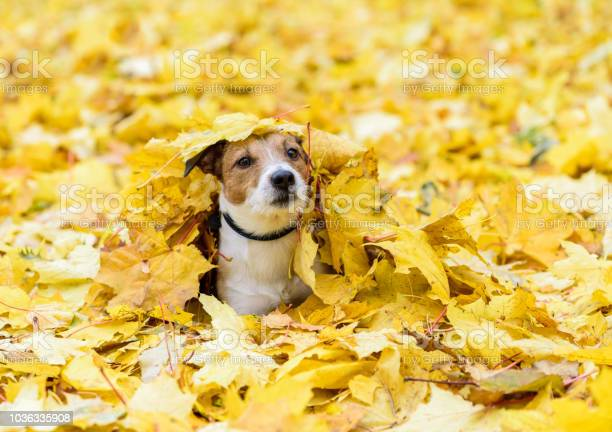 Dog lying down buried under yellow fallen autumn leaves picture id1036335908?b=1&k=6&m=1036335908&s=612x612&h=osogvaygrkpjmlq3bilft59d6rrb36pypegtmkmk7xk=