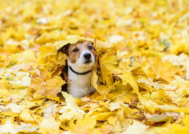 hond liggen begraven onder gele gevallen herfstbladeren - bos spelen stockfoto's en -beelden