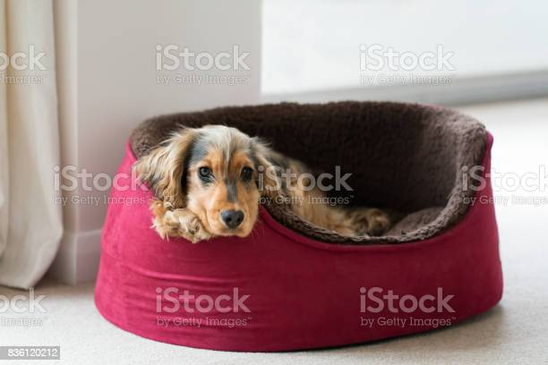 Dog lying in dog bed looking straight at camera picture id836120212?b=1&k=6&m=836120212&s=612x612&h=bk67gsy5edatpcvtezo  9mb6kbty4cyqgnja3fpkji=