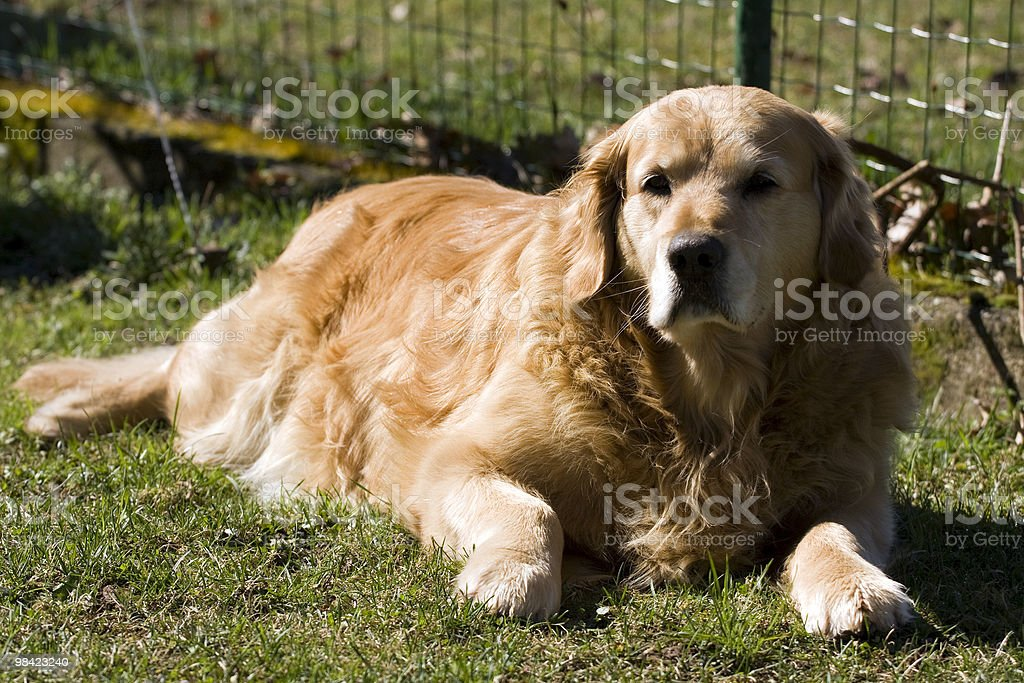 Dog lying in the grass. royalty-free stock photo