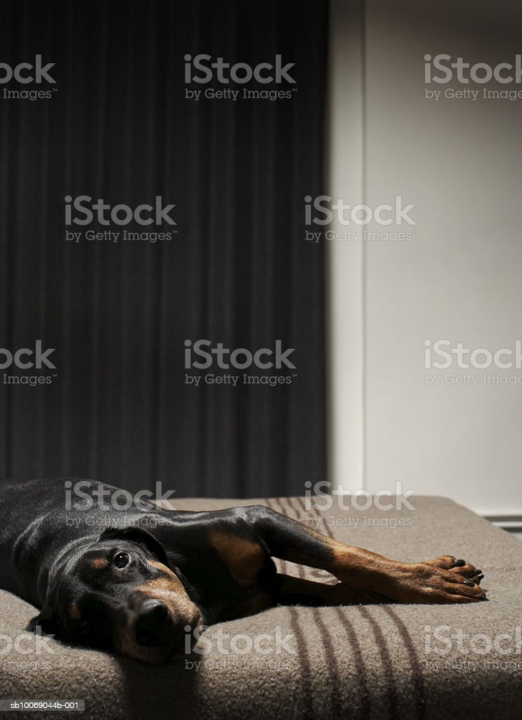Dog lying on bed royalty-free stock photo