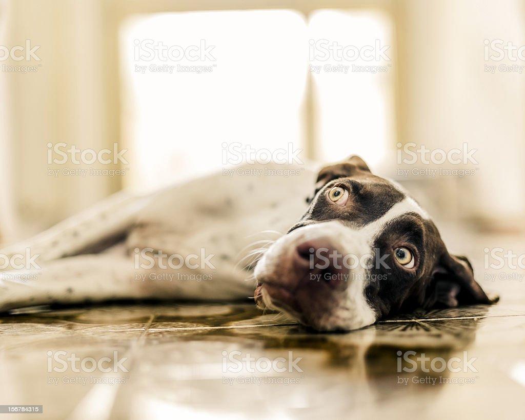 Dog lying on floor royalty-free stock photo