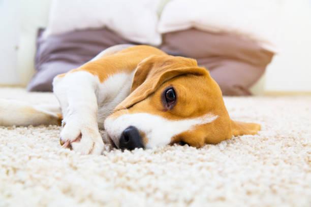 dog lying on soft carpet after training - yatmak stok fotoğraflar ve resimler