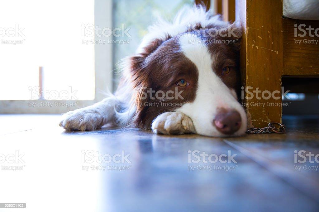 Dog lying on wooden floor stock photo