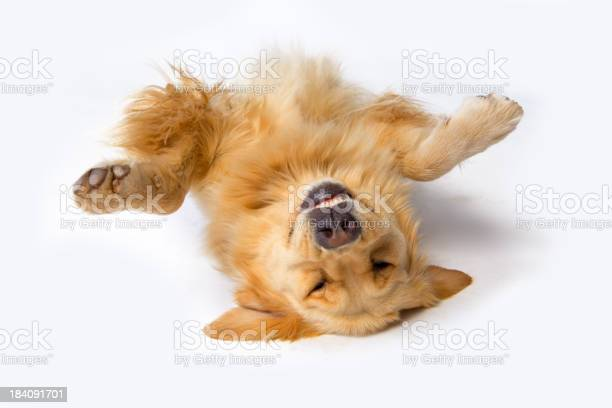 Dog lying upside down with its front paws up picture id184091701?b=1&k=6&m=184091701&s=612x612&h=3pl w8mzrxb0zdpcvduhdfjfwzmponkyflhcsbhl9u4=