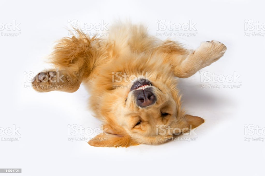 A dog lying upside down with its front paws up stock photo
