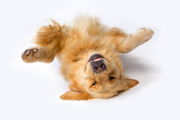 a dog lying upside down with its front paws up - golden retriever stock photos and pictures
