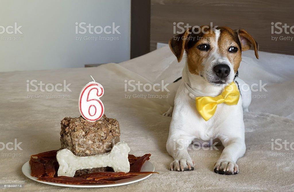 Dog lying with cake on his sixth birthday. Pet's treats. stock photo