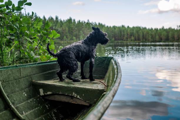 Dog miniature black schnauzer in a wooden boat on the lake picture id1176414138?b=1&k=6&m=1176414138&s=612x612&w=0&h=htmicqw3bmu7exidnkau6hyyx2p9fpzfomvdlx8k 8y=