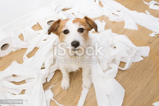 Dog mischief. Jack russell with guilty expression after play unrolling toilet paper. Disobey concept.