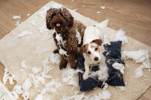 Dog mischief. Two dogs with innocent expression after destroy a pillow. separation anxiety and obedience training concept. High angle view.