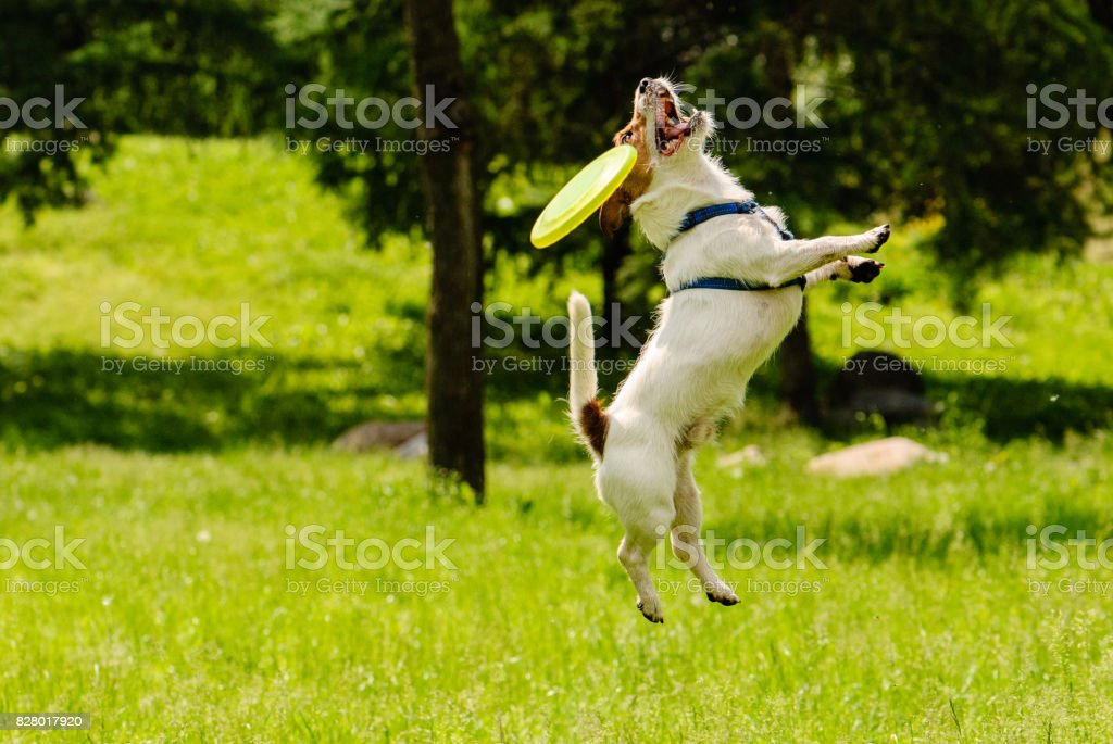 Dog missed target catching flying disk stock photo