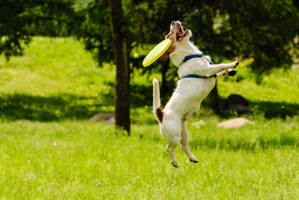 dog missed target catching flying disk - failure stock pictures, royalty-free photos & images