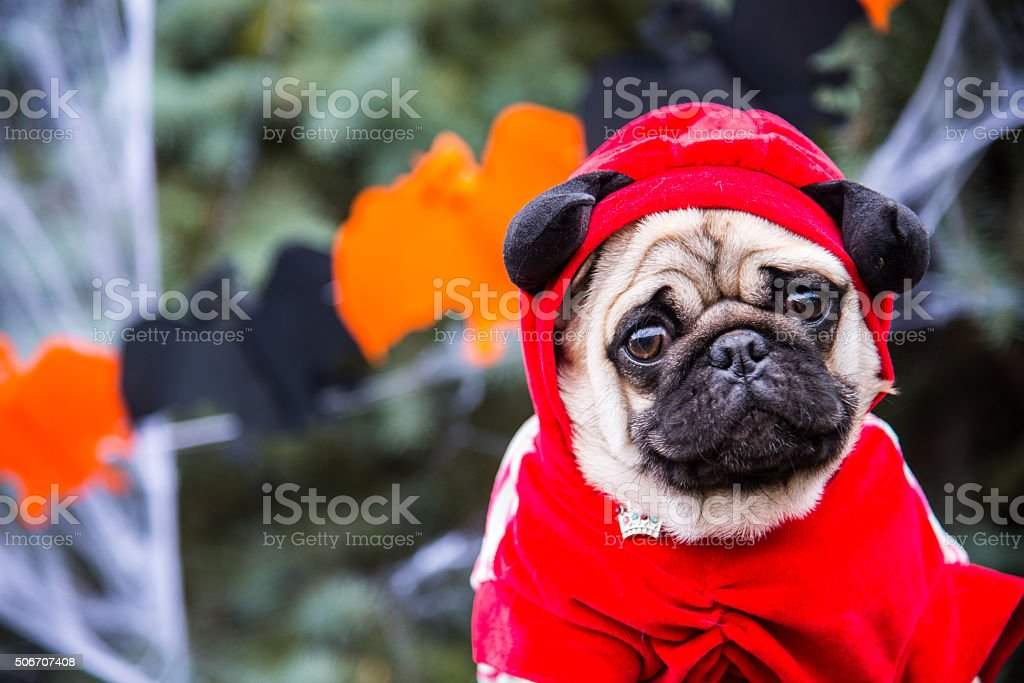 Dog Mops. A dog wearing a devil costume with horns stock photo