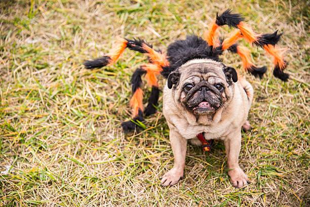 Dog mops dog dressed as spiderman picture id506708574?b=1&k=6&m=506708574&s=612x612&w=0&h=d63rmltihvrjayf4sgl0kvwger3qhbg3ebx mdu2dm4=
