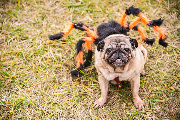 hund puget sound. hund angezogen wie spiderman - hund spinnenkostüm stock-fotos und bilder