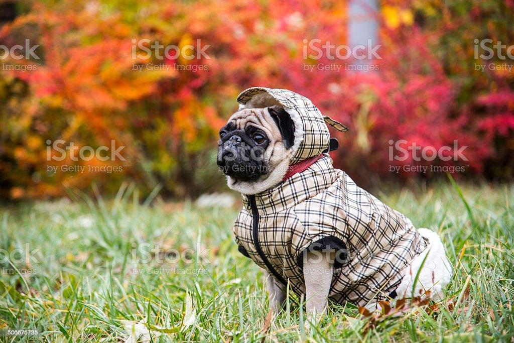 Dog Mops. stock photo