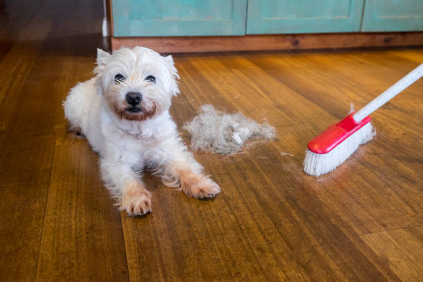 Dog moulting and shedding hair: broom sweeping fur from west highland white terrier indoors stock photo