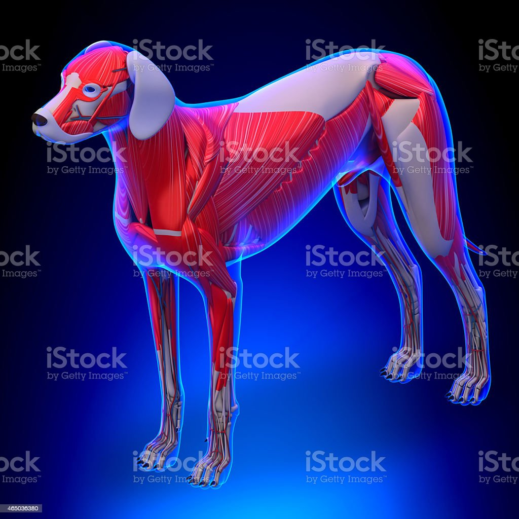 Dog Muscles Anatomy Anatomy Of A Male Dog Muscles Stock Photo & More ...