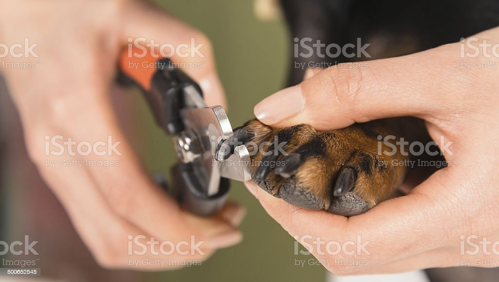 Dog nails are trimmed stock photo