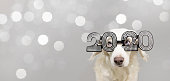 dog new year 2020 isolated on gray colored background